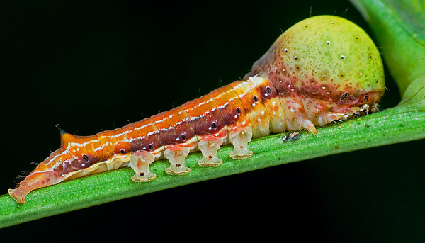 Caterpillar full length