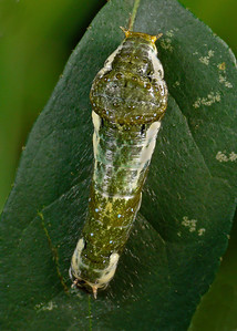Chrysalis1260730_filtered