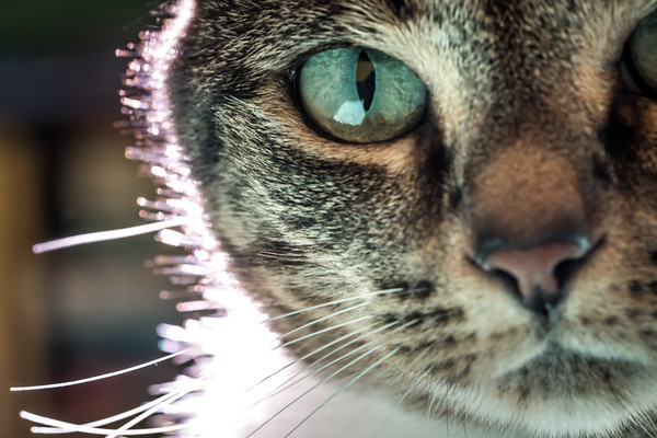 Macro Tabby Cat Eyes