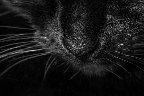 Macro Black Cat Nose and Whiskers