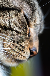 Tabby Cat Face Macro