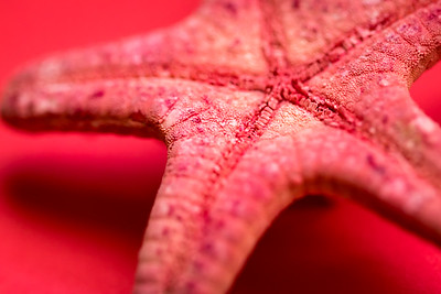 Starfish Macro on a Red Background