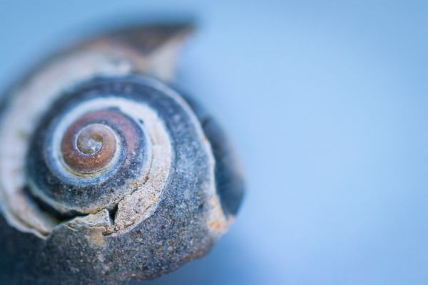 Blue Seashell Macro