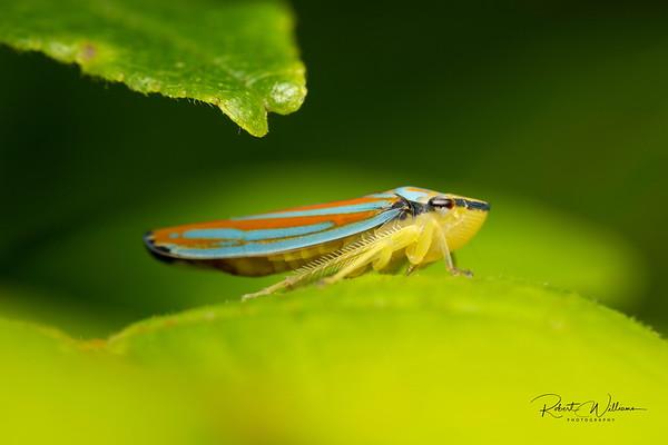 Candy-striped Leafhopper (Graphocephala coccinea)