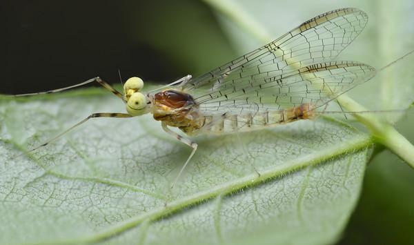 Mayfly (Maccaffertium terminatum)