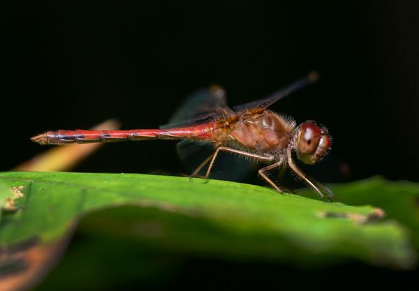 Ruby Meadowhawk Dragonfly, male (Sympetrum rubicundulum)