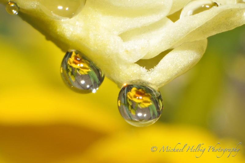 Daffodil drops
