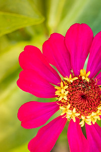 Pink Zinnia Macro on a Green Background