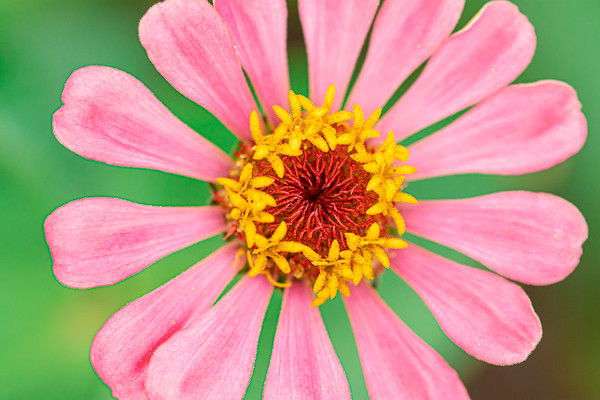 Macro of a Pink Zinnia Flower