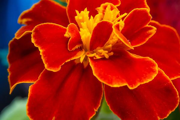 Macro Shot of a Red Marigold