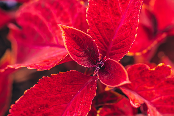 Macro Coleus Leaves