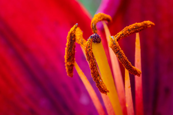 Macro Shot of the Inside of a Red Lily