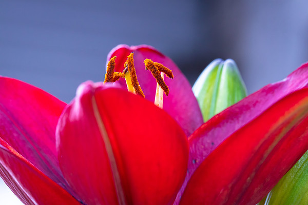 Macro Shot of the Inside of a Red Lily From the Side