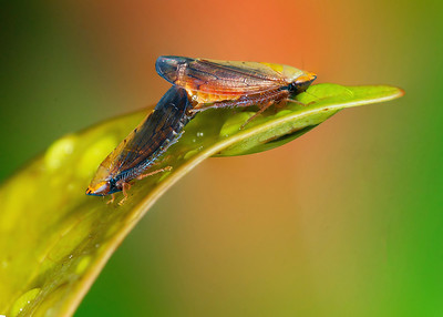 Mating leafhoppers