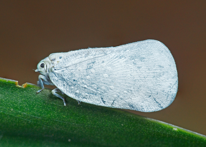 White Plant hopper