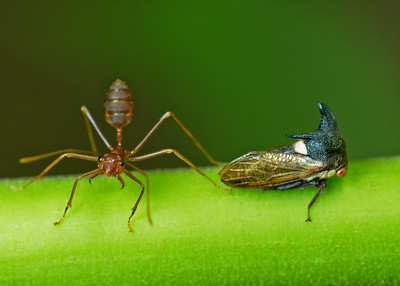 Don't mess with MY treehopper