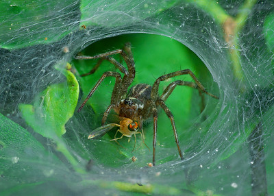 Funnel-Web Spider stack 8