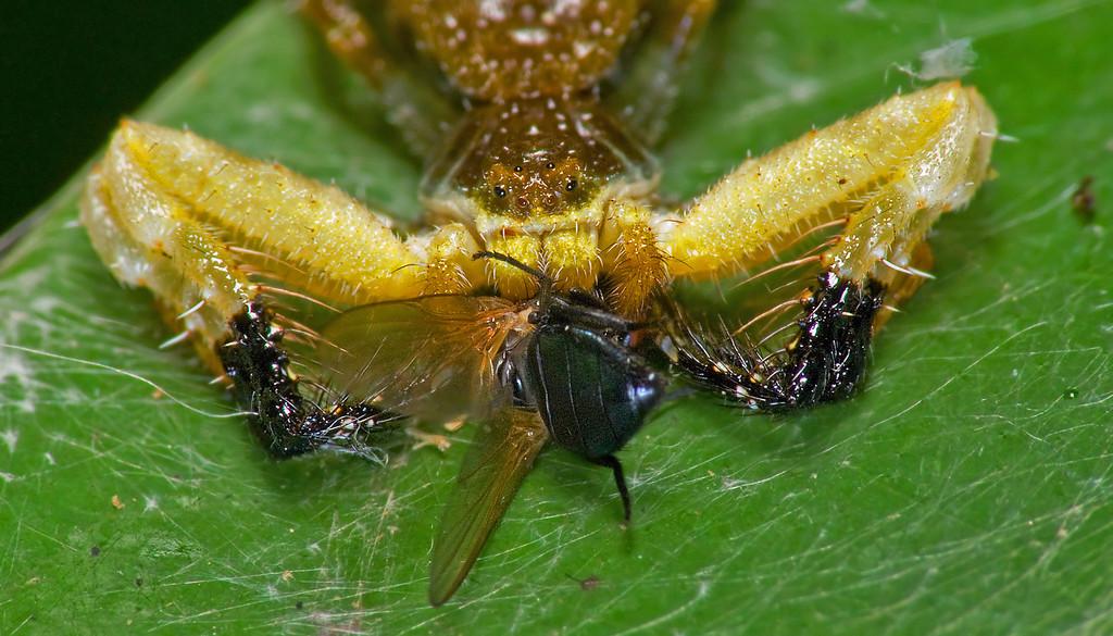 Phrynarachne ceylonica Bird-Dung Spider close up