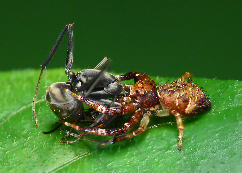 Strigoplus crab spider, mortal enemy of polyrachis ant