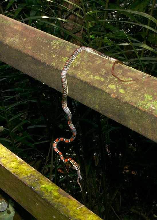 Twin-barred Tree Snake - Chrysopelea pelias railing 006339