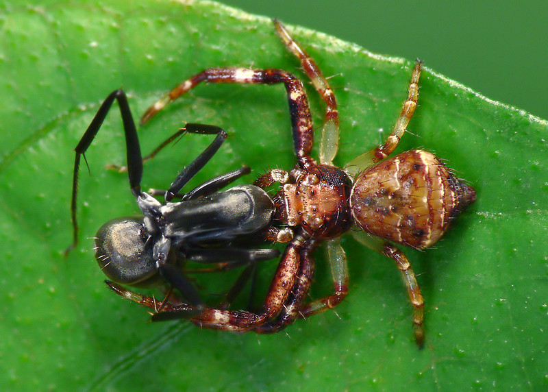 Strigoplus crab spider, mortal enemy of polyrachis ant