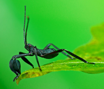 Leaf footed insect