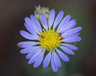 Aster with Aphids