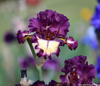 Iris - Deep Purple