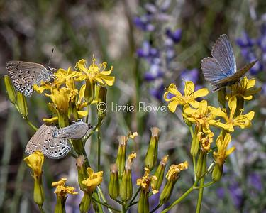 Silvery Blue on Mountain Dandelion