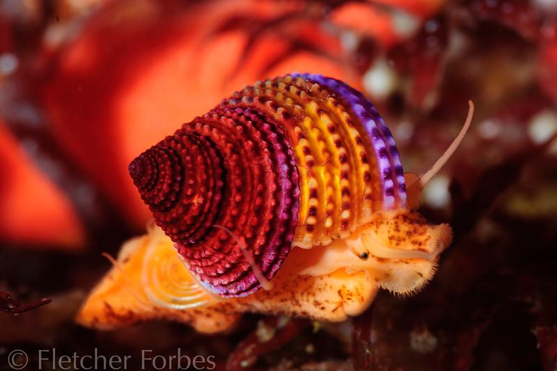 Jeweltop Snail, Monterrey