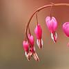 Bleeding heart flowers (macro)