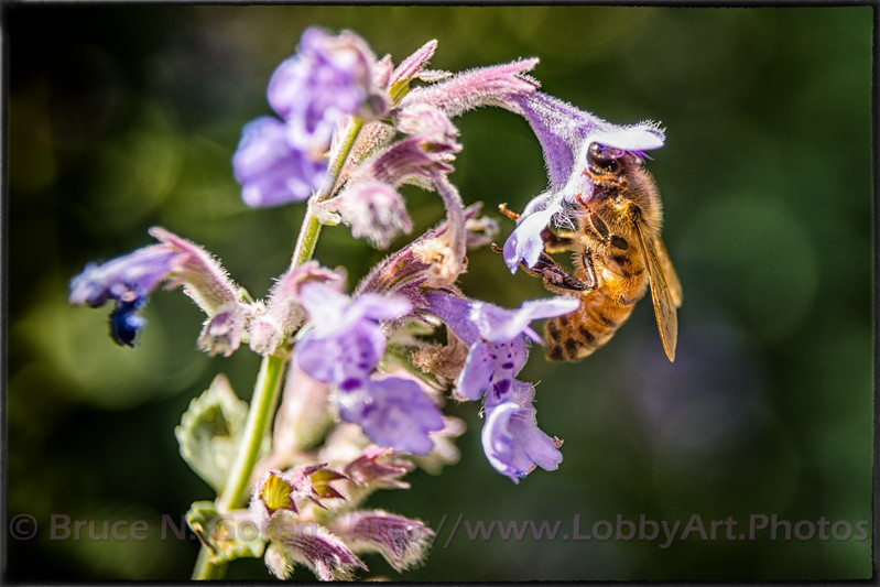 Bee on Catmint