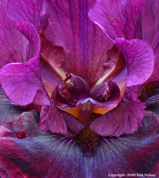 Iris - Silken Trim close Crop
