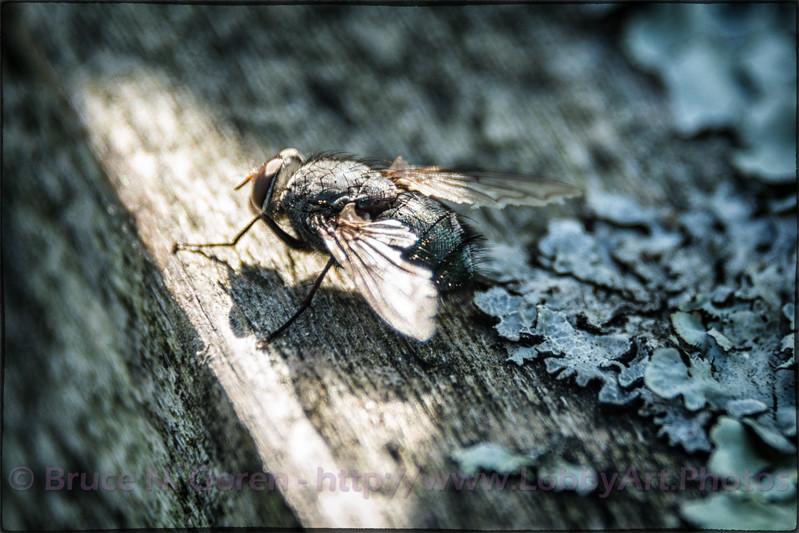 Fly on Lichen