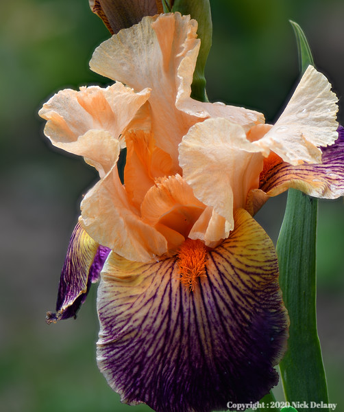 Iris - California Gold Rush