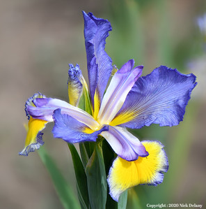 Iris - Big Pinney River