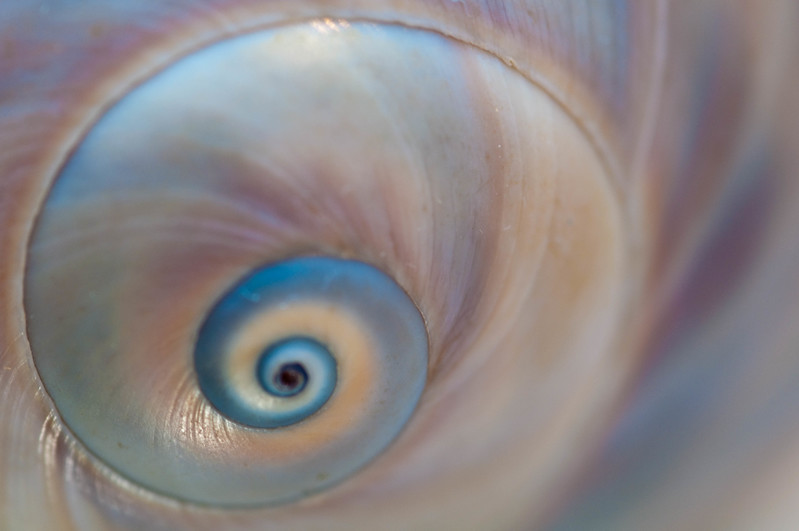 Shark's eye moon shell
