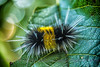 Lophocampa maculata agassizii (Spotted Tussock Moth larva)