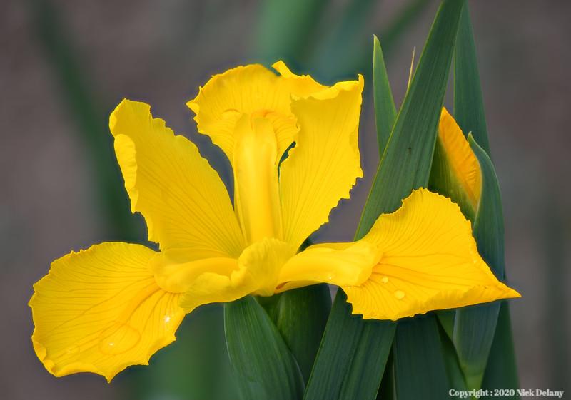 Iris- Goldern Yellow