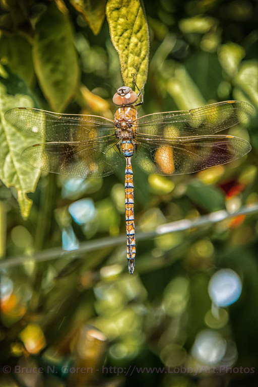 Dragonfly (Darner) on Rocoto