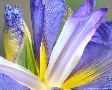 Iris - Big Pinney River - Close Crop