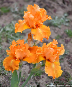 Iris-Orange Splash