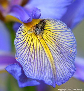 Pollen covered fly on an Iris