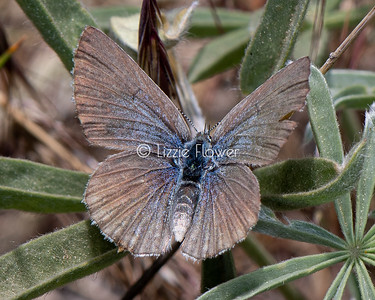 Silvery Blue Female on Lupine
