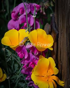 California Poppies and Peas