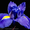 Iris on Blue