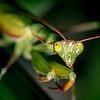 European Mantid (Praying Mantis)