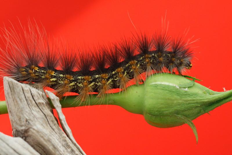 Mr. Caterpillar