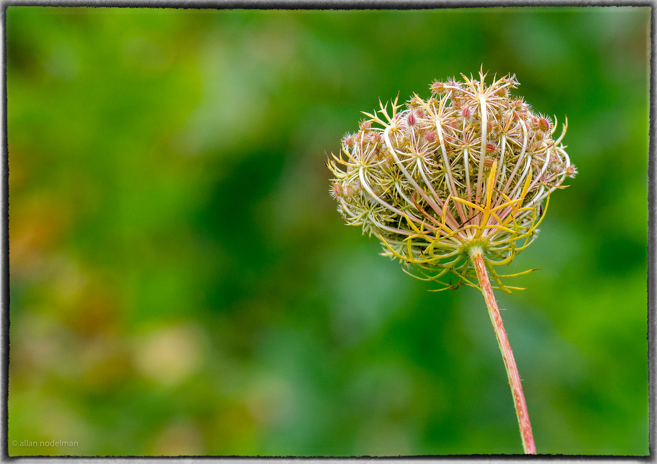 Queen Anne Lace in the Fall