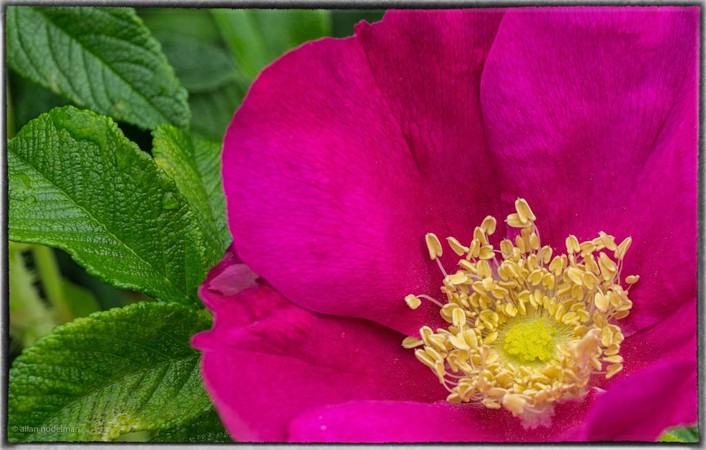 Wild rose in The Glebe